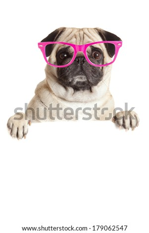 Pug Dog  with blank billboard. Dog above banner or sign. Pug dog with  glasses  over white background