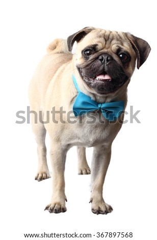 Pug dog with bow tie - stock photo