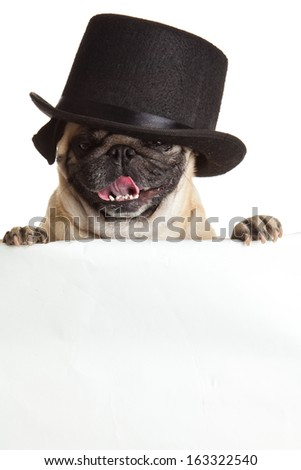 pug dog with bunner isolated on white background. design