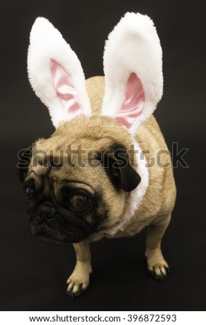 Pug dressed up for Easter with expressive face.