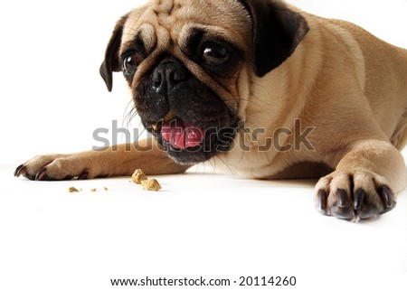 Pug eating a dog cookie and isolated on white.
