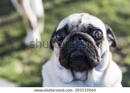 Pug face - stock photo