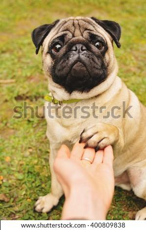 Pug giving paw - stock photo