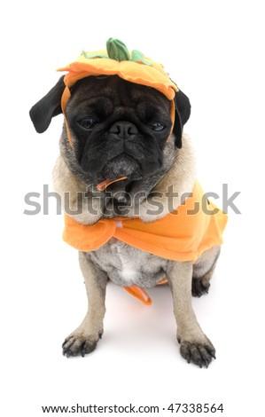 Pug in Pumpkin Costume.  sc 1 st  Shutterstock & Pug Pumpkin Costume Stock Photo (Royalty Free) 47338564 - Shutterstock