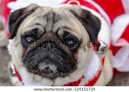 Pug in red and white Christmas dress up close