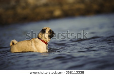 Pug in the water