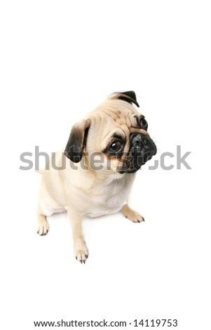 Pug isolated on white background. - stock photo