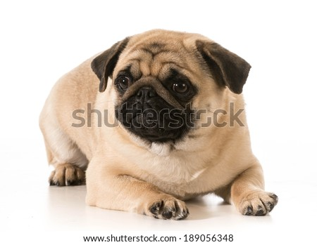 pug laying down isolated on white background
