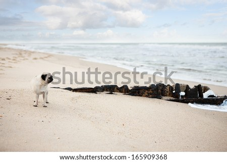 Pug looking at ocean view on beach - stock photo