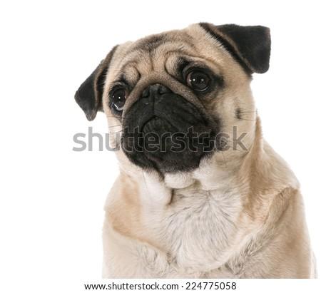 pug looking up isolated on white background - stock photo