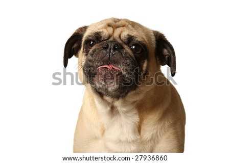 Pug making faces.  Isolated on a white background. - stock photo