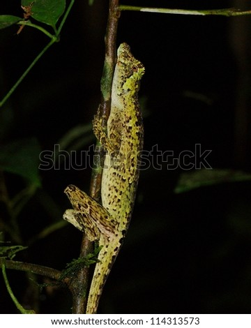 Pug-nosed Anole, Norops capito, found sleeping in the rainforest at night