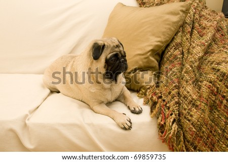 Pug on Couch with Expressive Face Looking Cute.