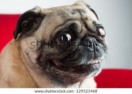 Pug on Red Couch - stock photo