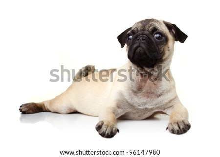 Pug on white background - stock photo