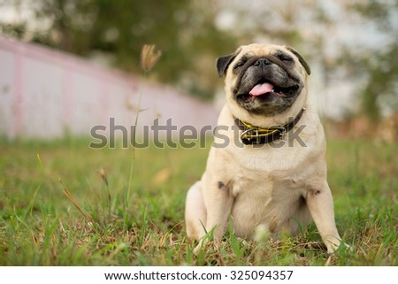 Pug playing in the grass.