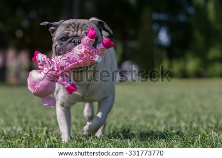 Pug playing with a pig toy, so fitting!