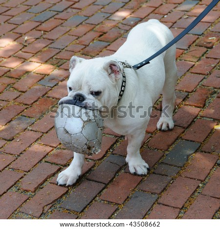Pug Playing with Soccer Ball - stock photo