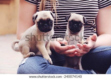 Pug puppies teeny tiny - stock photo