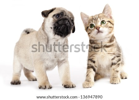 pug puppy and kitten
