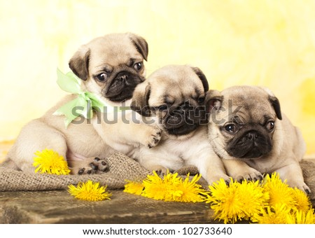 pug puppy and spring dandelions flowers - stock photo