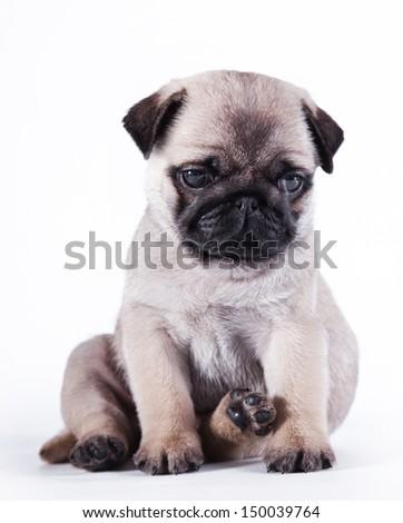 pug puppy dog - stock photo