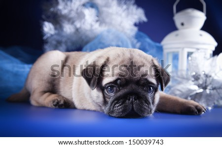 pug puppy dog, Christmas and New Year