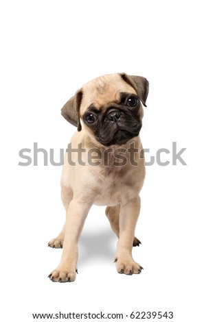 pug puppy dog standing isolated - stock photo