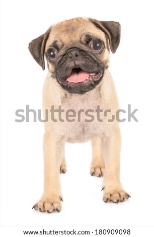 pug puppy isolated on a white background
