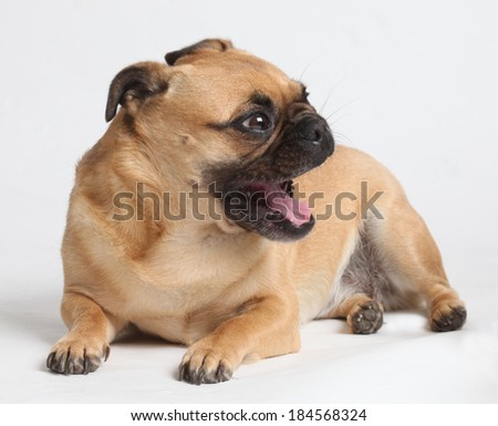 Pug puppy play with white background