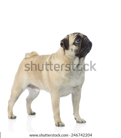 pug puppy standing and looking up. isolated on white background - stock photo