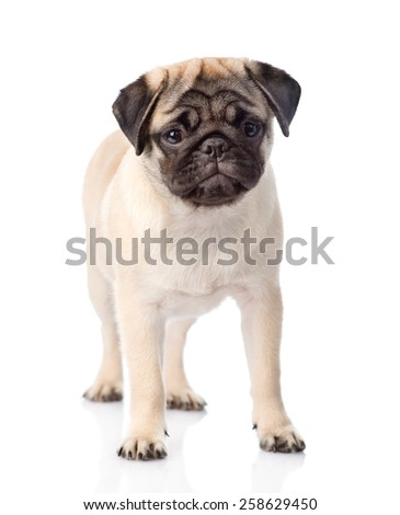 pug puppy standing in front. isolated on white background
