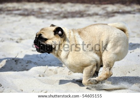 Pug running at the beach - stock photo