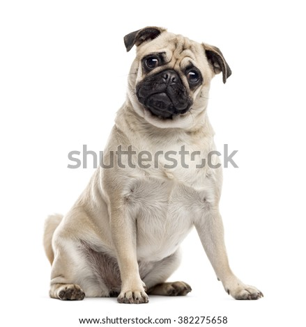 Pug sitting and looking at the camera, isolated on white - stock photo