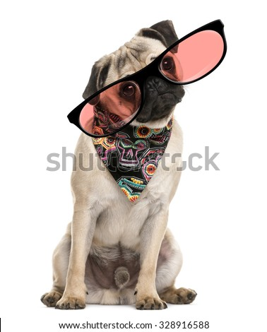 Pug sitting and wearing a scarf and glasses in front of a white background - stock photo