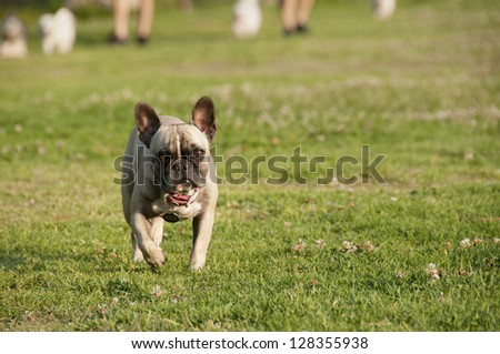 Pug walking toward you in front of the others