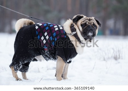 Pug walks on leash. Dog wears jumpsuit in winter. - stock photo