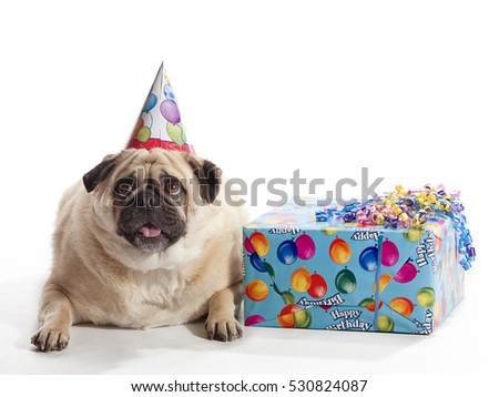 Pug with birthday hat and gifts isolated on white background