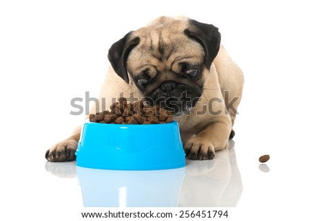 Pug with food - stock photo