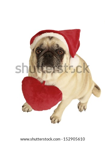 pug with santa claus cap, exempted, white background, wearing a plush heart around his neck