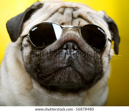 pug with  sunglasses. fun shoot. - stock photo