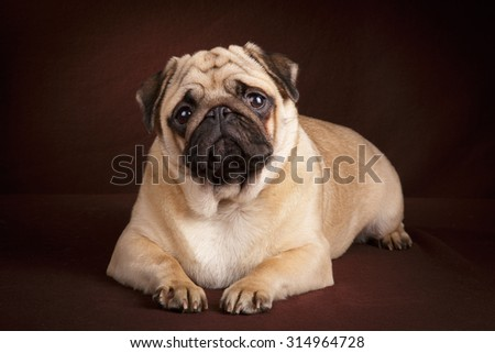 Pug young dog on dark brown background