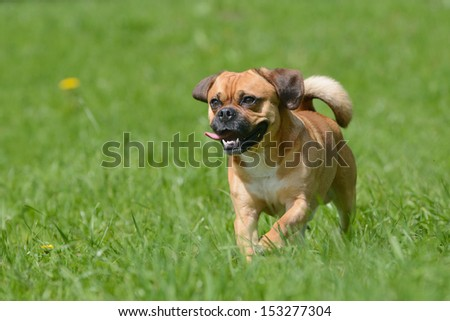 Puggle Dog Designer Dog Mops and Beagle - stock photo