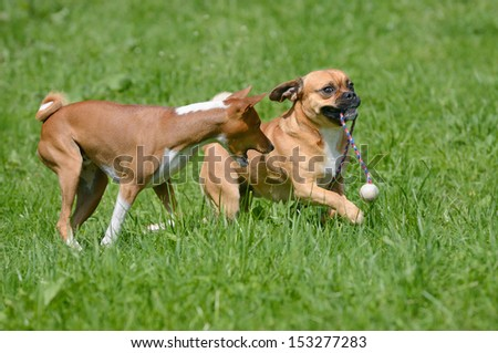 Puggle Dog Designer Dog Mops and Beagle plays with Basenji Dog