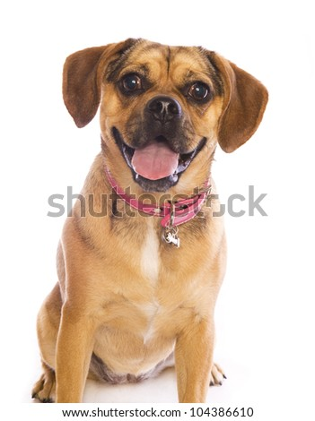 Puggle dog head shot isolated on white background