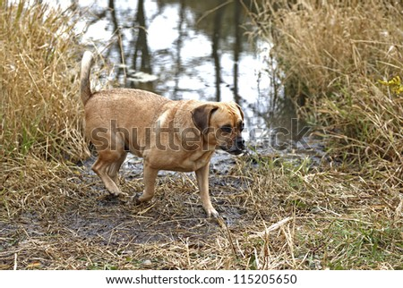 Puggle mixed breed dog