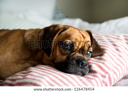 Puggle Pup Sleeping in Owners Bed - stock photo