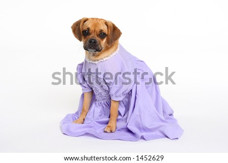 puggle puppy in lavender dress looking at camera