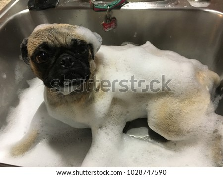Puggy dog stock images royalty free images vectors shutterstock puggy sue getting a bath thecheapjerseys Gallery