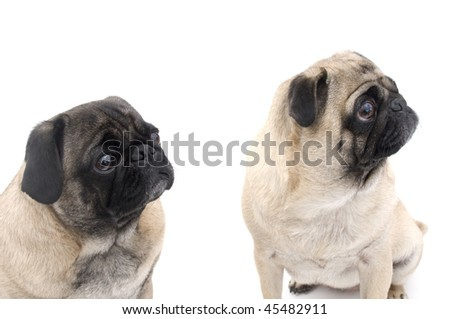 Pugs Isolated